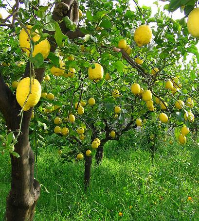 Pictures Of Lemon Trees 110